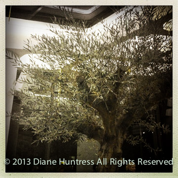 Olive tree in restaurant bar in Kotor, Montenegro